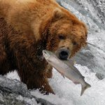 Catch of the Day: An Alaskan brown bear enjoys a salmon dinner at Brooks Falls, Katmai National Park. (NPS)