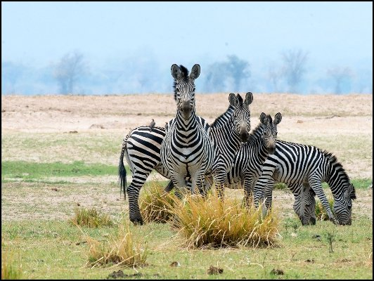 A few zebras enjoy the day near Kikomo Safari Camp, which adjoins South Luangwa National Park in Zambia.