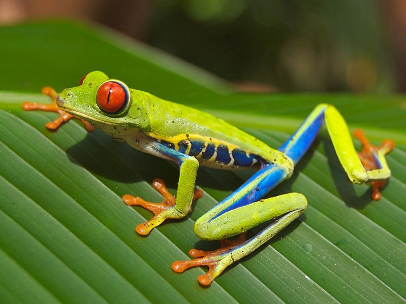 The red-eyed tree frog is just 1 of the many reasons why Costa Rica has become a magnet for eco-tourists. Low-cost travel and the adventure are others, especially for people in their 20s. (Wikimedia)