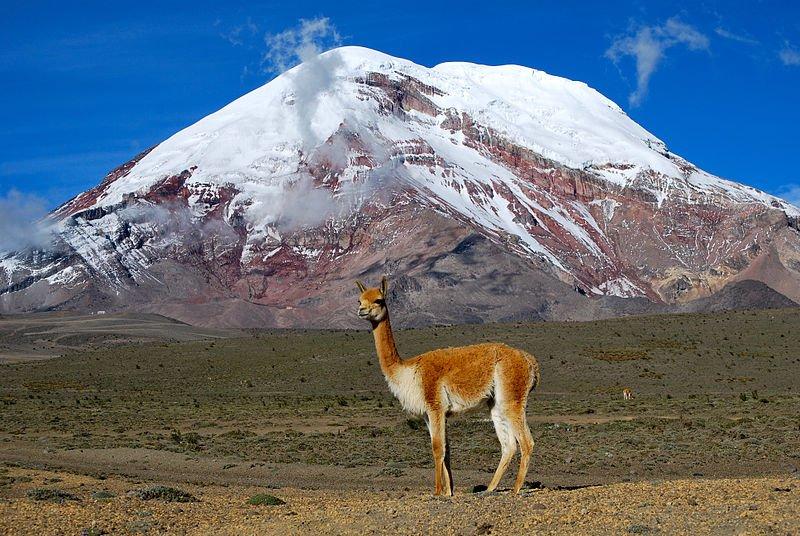 A llama poses before Ecuador's Chimborazo Volcano (David Torres Costales, Wikimedia)
