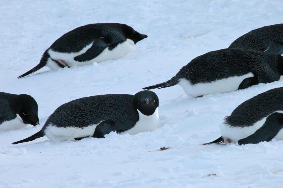 Penguins are plentiful in Antarctica.